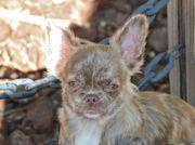 Schoko brindle Chihuahua Hündin
