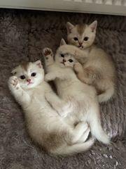 BKH und Scotisch Fold Kitten