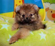 Teacip Pomeranian Hündinwelpe