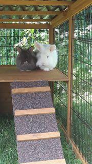 2 Löwenköpfchen Kaninchen
