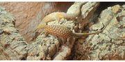 Varanus Acanthurus Red Ackie 0