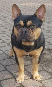 Französische Bulldogge gekörter Deckrüde in