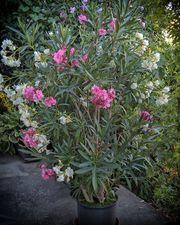 Oleander 170 cm