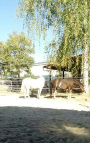 Großer Laufstall Pferdeboxen frei