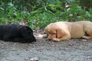Labrador Welpen abgabebereit (