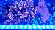 Meerwasser Koralle SPS Montipora Digitata