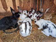 Kaninchen Hasen männlich und weiblich