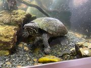 Moschosschildkröte