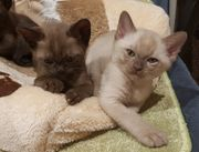 Burma Kitten wenig haarende katzen