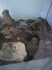 Brachypelma vagans schwarzrote Vogelspinne mit