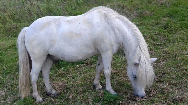 Vielseitiger Ponywallach