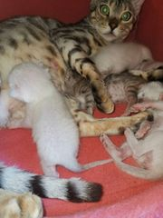 Bengal Kitten Katzen Kater Katze
