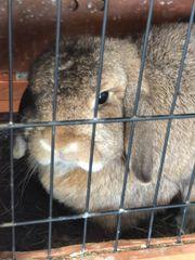 minilob zwergwidder Kaninchen +