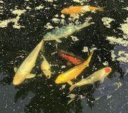 Koi Fische wegen Teichumbau kostengünstig