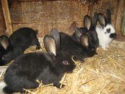 Stallhasen -Kaninchen