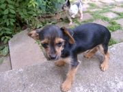 Chihuahua - Yorkshire Terrier Mix