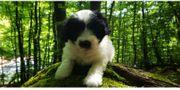 Tibet Terrier-kleiner nichthaarender Hütehund