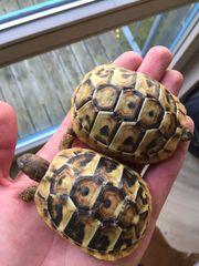 Griechische Landschildkröten NZ2020