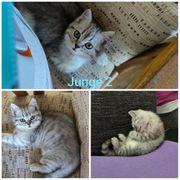 6 Bkh Blh Kitten suchen