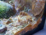 Meerwasser Scheibenanemonen pro Stk