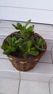 Pfennigbaum Geldbaum