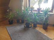 schöne grosse Yucca-Palmen