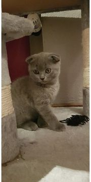BKH Scottischfold Kitten