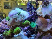 Lebendgestein Krustenanemonen Scheibenanemonen Korallen Fische