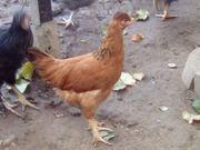 Hühner verschiedene Rassen zu verkaufen