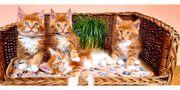 Maine-Coon-Katzen ROT red tabby Kitten