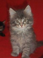 Bildhübsche Maine Coon Kitten