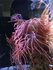 Kupferanemone rot weiß