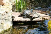Teicherfahrene Wasserschildkröten Höckerschildkröten