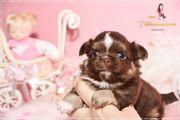 wunderschöne Chihuahua Babys mit Ahnentafel