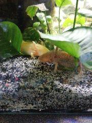 Axolotlen