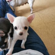 ab sofort Reinrassiger Chihuahua Rüde