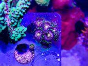 Zoanthus WWC Nirvana - WYSIWYG Korallen