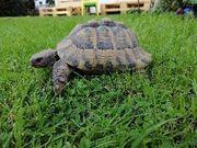Griechische Landschildkröten Zuchtgruppe