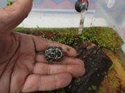 Europäische Sumpfschildkröten Emys orbicularis - 2019