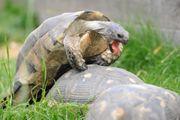 Breitrand Schildkröten