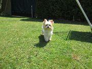 Yorkshire Terrier * Biewer