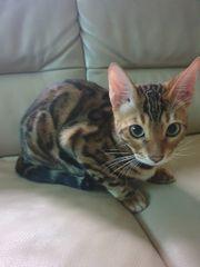 Bengalkitten abgabebereit reinrassig Bengal Kitten