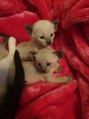 Khao-manee siam okh Kitten