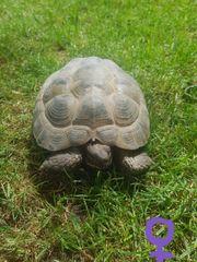 Reserviert Testudo horsfieldii - vierzehenlandschildkröten
