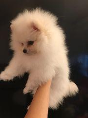 Wunderschöne Reinrassigen Pomeranian Zwergspitz