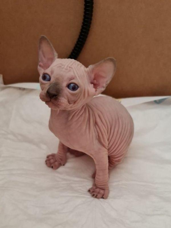 Reinrassige Canadian Sphynx Kitten und