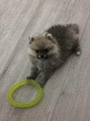 Pomeranian mini