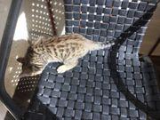 Bengal Kitten Kater