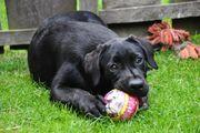 Freundliche Labradore suchen