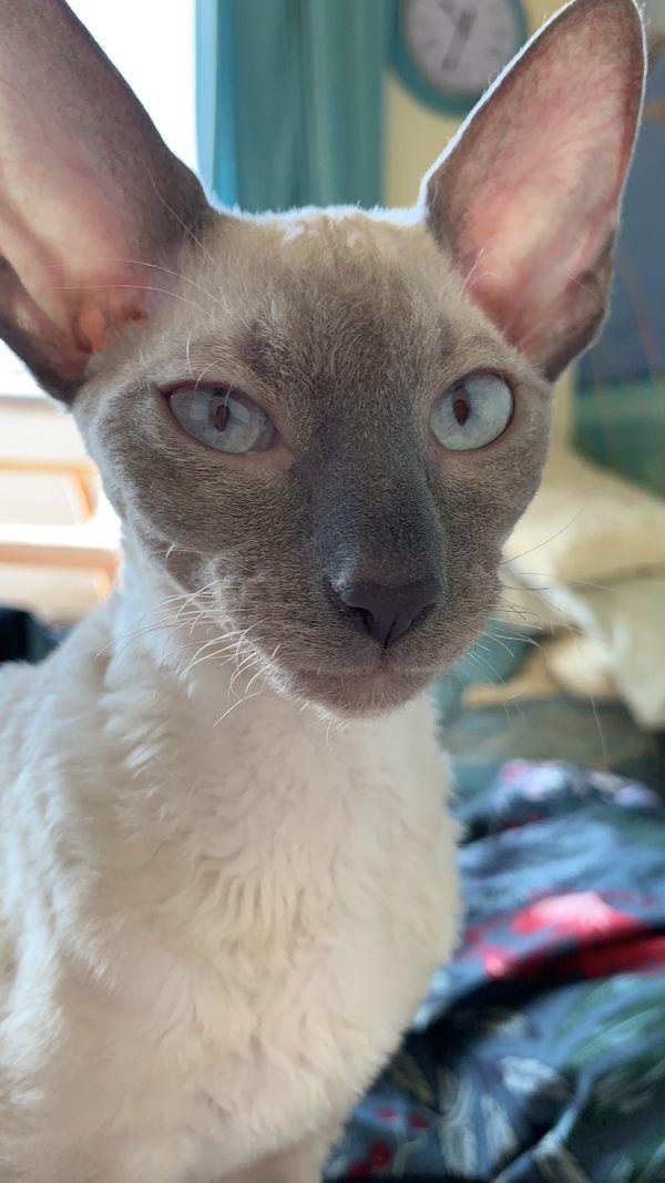 Cornish Rex Kitten mit blauen